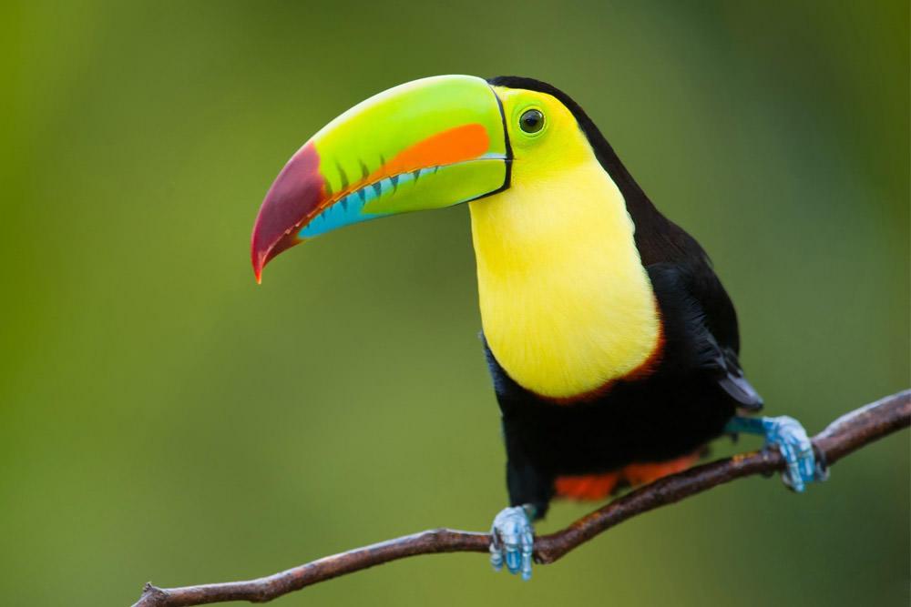 Aves Lapas Tucanes en Costa Rica