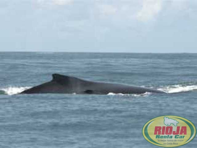 Uvita,Dominical the whales showed themselves
